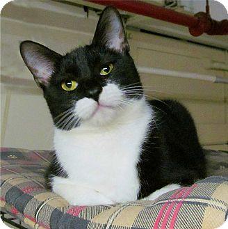 Siamese Cat for adoption in Plainville, Massachusetts - Bella Luce'
