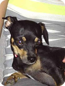 Chihuahua/Miniature Pinscher Mix Dog for adoption in Chandler, Arizona - Friday