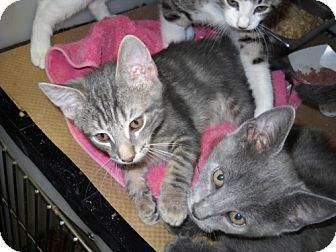 Domestic Shorthair Kitten for adoption in Trenton, New Jersey - Snickers & Twix (in foster)