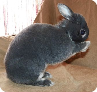 Netherland Dwarf for adoption in North Gower, Ontario - Dobbler