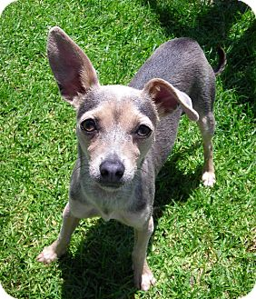 Chihuahua Mix Dog for adoption in El Cajon, California - Zoey