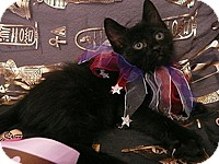 Domestic Mediumhair Kitten for adoption in Tampa, Florida - Cleo