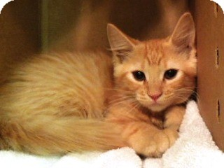 Domestic Shorthair Kitten for adoption in Sioux City, Iowa - PENDER