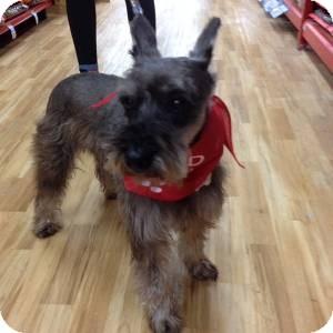 Schnauzer (Miniature) Dog for adoption in Redondo Beach, California - JJ