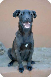 Labrador Retriever Mix Puppy for adoption in Corona, California - BLAKE