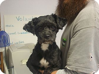 Shih Tzu Dog for adoption in Manassas, Virginia - Kenya