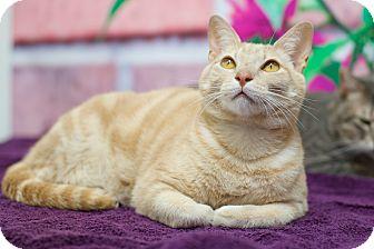 Domestic Shorthair Cat for adoption in Houston, Texas - Tao