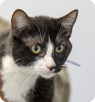 Domestic Shorthair Cat for adoption in Martinsville, Indiana - Vex