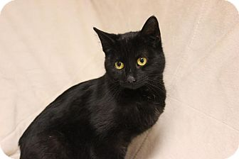 Domestic Shorthair Cat for adoption in Midland, Michigan - Ren