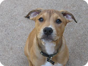 Hound (Unknown Type)/American Pit Bull Terrier Mix Puppy for adoption in Lincoln, California - Josie