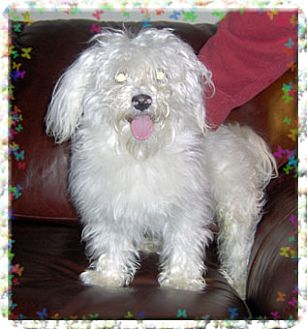 Bichon Frise Dog for adoption in Kirkland, Quebec - Kovu