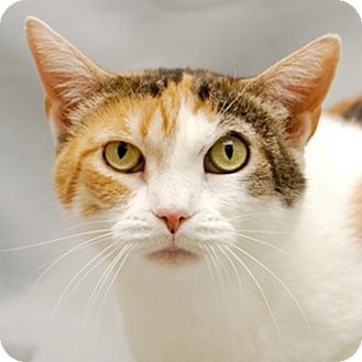 Calico Cat for adoption in Cary, North Carolina - Callie