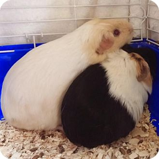Guinea Pig for adoption in Phoenix, Arizona - Anjelica & Susie