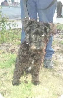 Poodle (Standard)/Schnauzer (Standard) Mix Dog for adoption in Richmond, California - Snoopy