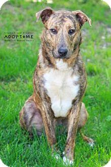 Labrador Retriever Mix Dog for adoption in Edwardsville, Illinois - Murphy