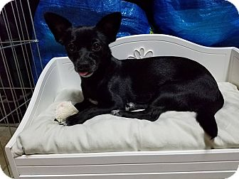 Chihuahua/Terrier (Unknown Type, Small) Mix Dog for adoption in Riverside, California - Emma