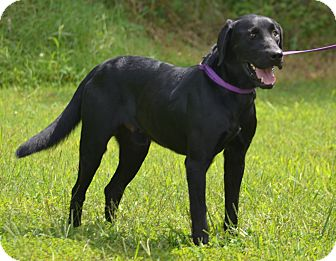 Labrador Retriever Mix Dog for adoption in Lebanon, Missouri - Apallo