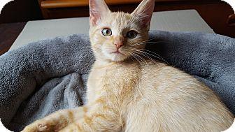 Domestic Shorthair Kitten for adoption in Glen Mills, Pennsylvania - Buttercup