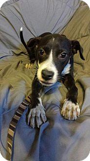 Labrador Retriever/Terrier (Unknown Type, Medium) Mix Dog for adoption in Olympia, Washington - Lucas