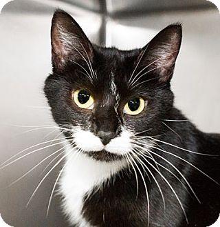 Domestic Shorthair Cat for adoption in Seville, Ohio - Daria