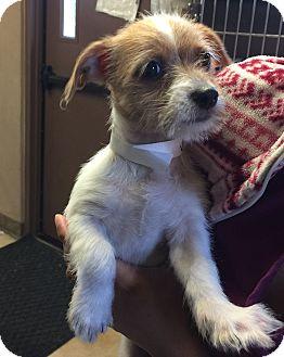Jack Russell Terrier Mix Puppy for adoption in Redmond, Washington - Skipper
