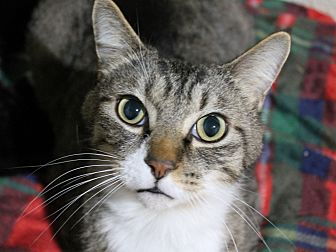 Domestic Shorthair Cat for adoption in Troy, Michigan - Watkins