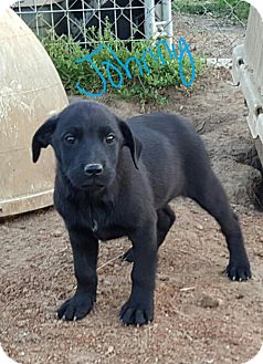 Labrador Retriever/Catahoula Leopard Dog Mix Puppy for adoption in Albany, North Carolina - Johnny