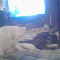 American Shorthair Cat for adoption in Lakeland, Florida - Snowball n lil bit
