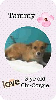 Welsh Corgi/Chihuahua Mix Dog for adoption in Las Vegas, Nevada - Tammy
