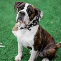 Adopt A Pet :: Jabber - Chattanooga, TN