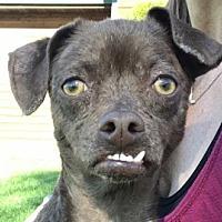 Adopt A Pet :: Pebbles - Polson, MT