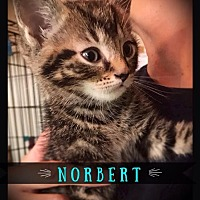 Adopt A Pet :: Norbert - Hartford City, IN