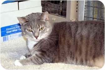 Domestic Shorthair Cat for adoption in Racine, Wisconsin - Sahara