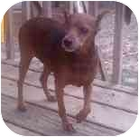 Miniature Pinscher Dog for adoption in Wilmington, Delaware - Mimi