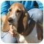 Photo 1 - Basset Hound Dog for adoption in Folsom, Louisiana - Marcy