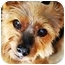 Photo 1 - Yorkie, Yorkshire Terrier Dog for adoption in Commerce TWP, Michigan - BECK is BEST!