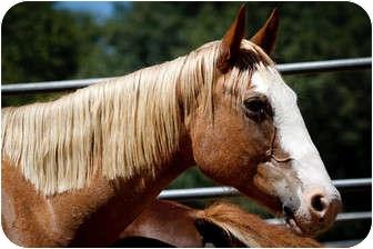 Quarterhorse/Other/Unknown Mix for adoption in El Dorado Hills, California - Willow