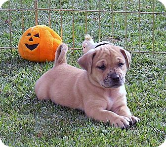 Labrador Retriever/Catahoula Leopard Dog Mix Puppy for adoption in Broomfield, Colorado - Petey