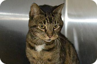Domestic Shorthair Cat for adoption in Elyria, Ohio - Cheeky