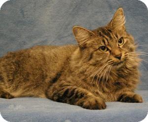 Maine Coon Cat for adoption in Sacramento, California - Sammy