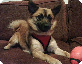 Pug/Pomeranian Mix Dog for adoption in Mount Gretna, Pennsylvania - Charlie