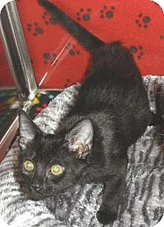 Domestic Shorthair Kitten for adoption in Miami, Florida - Missy