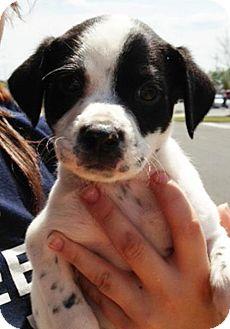 Border Collie Mix Puppy for adoption in Walker, Louisiana - Milo