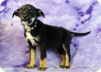 Shepherd (Unknown Type) Mix Puppy for adoption in Westminster, Colorado - Empire