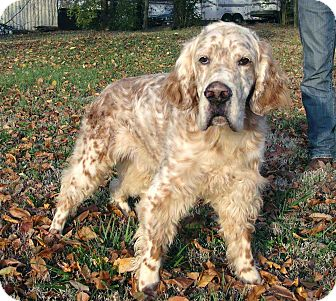 English Setter Dog for adoption in Salem, New Hampshire - CHESTER