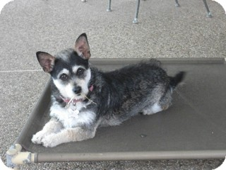Terrier (Unknown Type, Small)/Chihuahua Mix Dog for adoption in Woonsocket, Rhode Island - Avalon - cat friendly