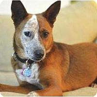 Adopt A Pet :: Sharli (Adoption Pending) - Phoenix, AZ