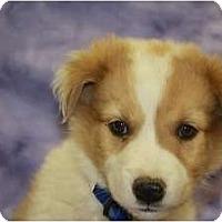 Adopt A Pet :: Cedar - Broomfield, CO
