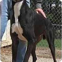Adopt A Pet :: Kong - Oak Ridge, NC