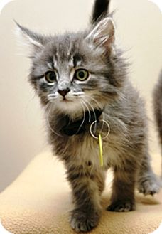 Domestic Mediumhair Kitten for adoption in Bellingham, Washington - Annie Oakley